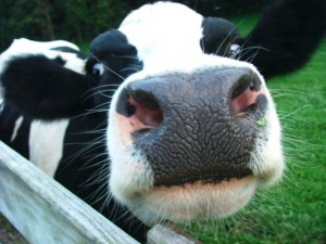 Dairy-cows-The-Fall